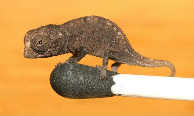 Tiny chameleon