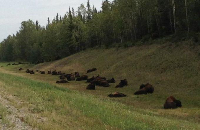 Bears on break at Burns Lake